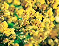 Closeup of  yellow  flowers  on tree (Senna siamea Lam) with vin Stock Photo