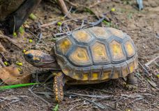 Closeup of a yellow footed tortoise crawling in the sand, Tropical land turtle from America, Reptile specie with a vulnerable. A closeup of a yellow footed stock image