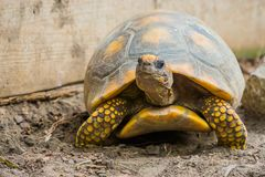 Closeup of a yellow footed tortoise, funny tropical land turtle from America, Reptile with a vulnerable status. A closeup of a yellow footed tortoise, funny stock images