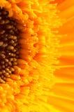 Closeup of a yellow gerber Royalty Free Stock Photo