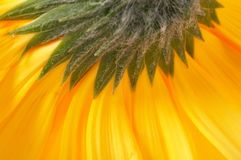 Closeup of a yellow gerber Stock Photos