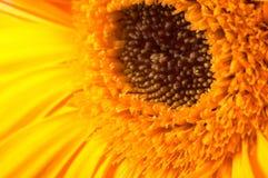 Closeup of a yellow gerber Stock Photo