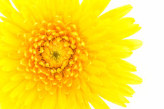 Closeup a yellow gerbera daisy flower. Royalty Free Stock Images