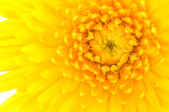 Closeup a yellow gerbera daisy flower. Stock Photography