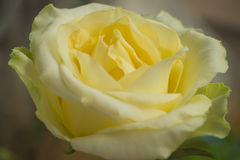 Closeup yellow gradient white rose. With defocus background Stock Photos
