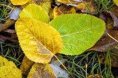 Closeup of yellow and green autumn leaves mulberry. Closeup of yellow and green mulberry leaves on a background of green grass in autumn Stock Photo
