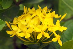 Closeup yellow ixora flower in the garden. On green leaves background stock images