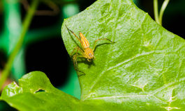 Closeup yellow  jumper spider on the green leaf Royalty Free Stock Photo