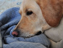 Face of a Labdrador Retriever. Closeup of a yellow labrador retriever Stock Images