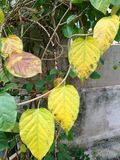 Yellow leaves. Closeup of yellow leaves of ylang ylang tree on grungy wall background royalty free stock images