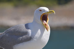 Closeup Yellow-legged Gull Royalty Free Stock Image