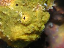 Closeup of a yellow longlure frogfish on a purple sponge, Bonaire, Dutch Antilles. Bright yellow longlure frogfish on a purple sponge, so ugly it`s cute royalty free stock images