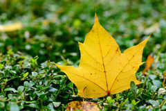 Yellow maple leaf in autumn Royalty Free Stock Images
