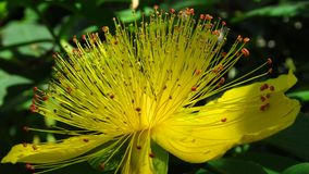 Hypericum androsaemum Albury Purple blossom. Closeup of yellow garden flowers blooming in summer. royalty free stock photography