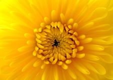Closeup of yellow mum Royalty Free Stock Image