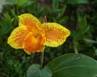 Closeup of Yellow and Orange Canna Lily Royalty Free Stock Image