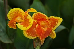 Closeup of Yellow and Orange Canna Lily Stock Image