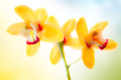 Closeup of yellow orchid Royalty Free Stock Photography