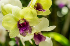 Closeup yellow orchid flowers Stock Photos