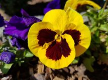 Closeup of yellow pansy. Beautiful flower in the sun. Garden flowers. Closeup of yellow pansy. Beautiful flower in the sun. Garden flowers for decoration stock photography
