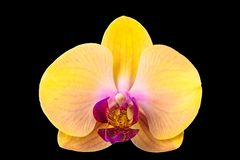 Closeup of yellow Phalaenopsis orchid flower. With purple lip isolated on black background stock photography
