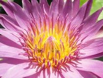 Closeup yellow pollen of the pink lotus Royalty Free Stock Photos