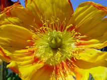 Closeup of yellow poppy. Closeup of a yellow poppy royalty free stock images