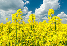 Closeup of yellow rapeseed field and blue sky Royalty Free Stock Image