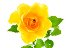 Closeup yellow rose Royalty Free Stock Images