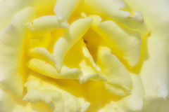 Closeup of yellow rose Royalty Free Stock Images