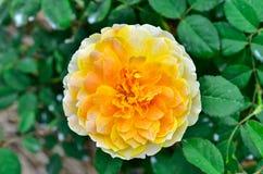 Closeup of yellow rose Stock Images