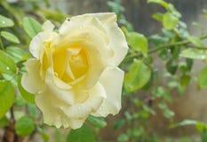 Closeup yellow rose Stock Photos