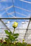 Closeup of a yellow rose inside a greenhouse Stock Photo