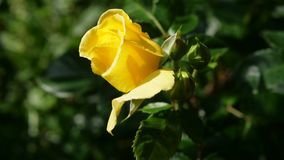 Closeup Yellow Rose In Natural Light. Closeup Yellow Rose With Natural Light Royalty Free Stock Photography