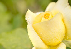 Closeup of yellow rose with rain drops in garden Stock Images