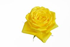 A closeup of yellow rose Royalty Free Stock Images