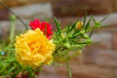 Closeup yellow small flower. Portulaca stock photo