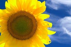 Closeup of yellow sunflower Stock Image