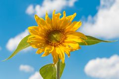 Yellow sunflower against a blue sky with some clouds Stock Images