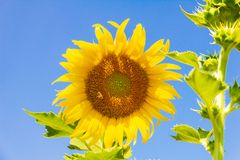 Closeup yellow sunflower with bee in the graden on sunshine day royalty free stock photo