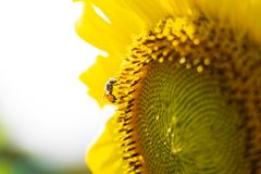 Closeup yellow sunflower with bee on sunshine day royalty free stock photo