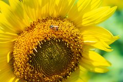 Closeup yellow sunflower with bee in the graden on sunshine day royalty free stock photos