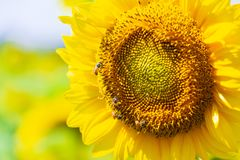 Closeup yellow sunflower with bee in the graden on sunshine day stock photography