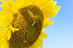 Closeup yellow sunflower with bee on sunshine day stock image