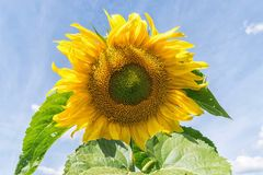 Closeup yellow sunflower with clear sky in summer royalty free stock photography