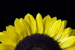 Closeup of a Yellow Sunflower Isolated on a Black Background Stock Photography