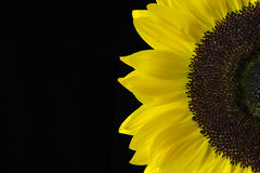Closeup of a Yellow Sunflower Isolated on a Black Background. Closeup of a sunflower with yellow petals isolated on a black background Stock Photography