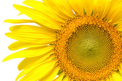 Closeup yellow sunflower isolated on write background Royalty Free Stock Photography