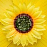 Closeup yellow sunflower Stock Photography