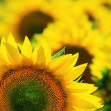 Closeup of yellow sunflower in summer Stock Photography